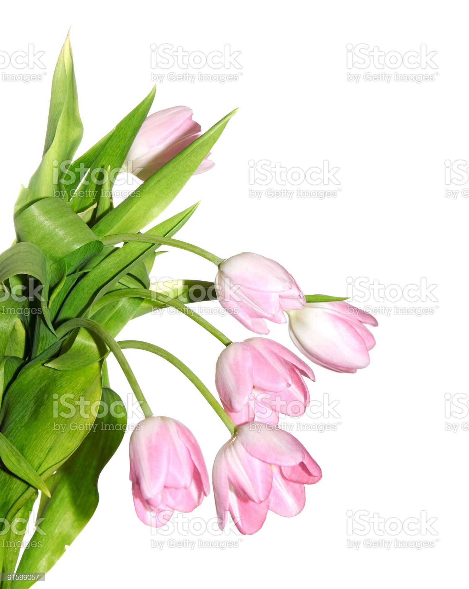 light red tulips royalty-free stock photo