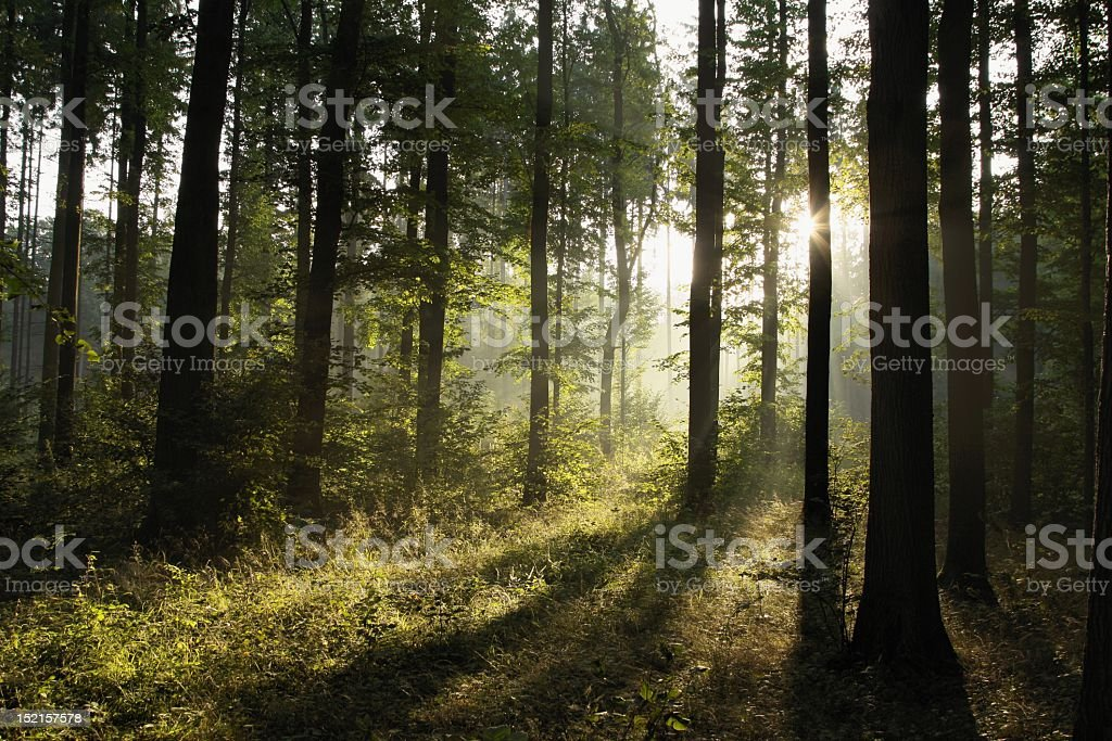 Light shining through a deciduous forest at dawn royalty-free stock photo