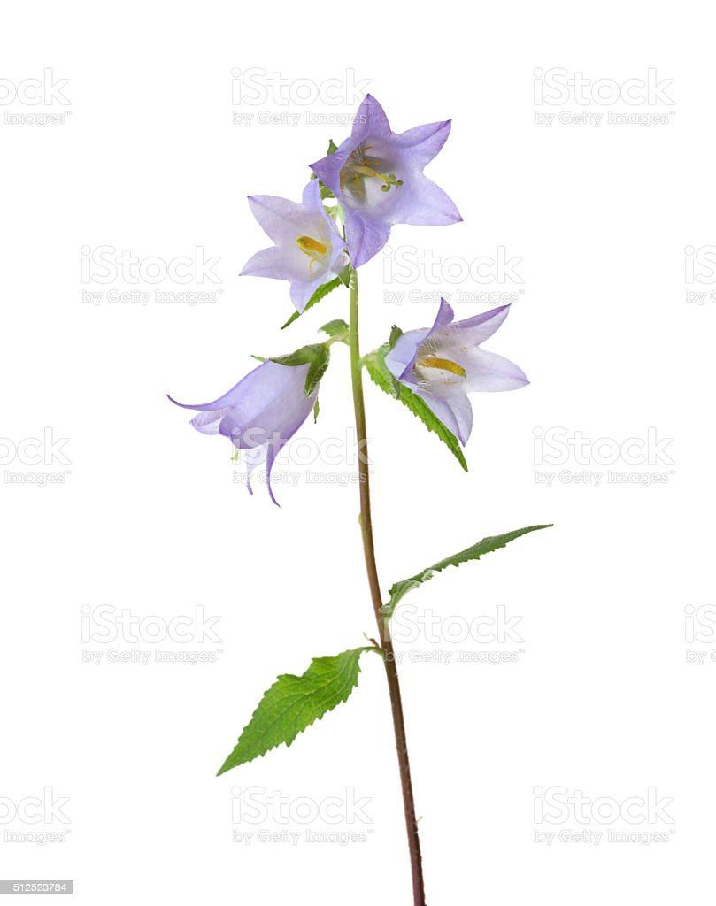 Light violet Bellflower. stock photo