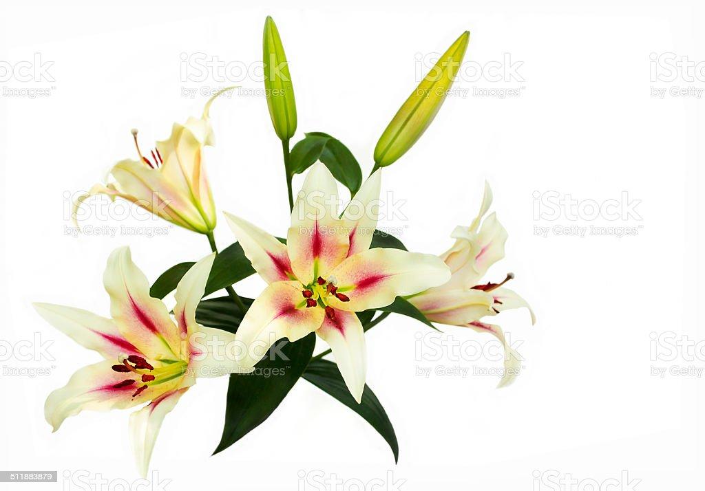 Light yellow Lily. stock photo