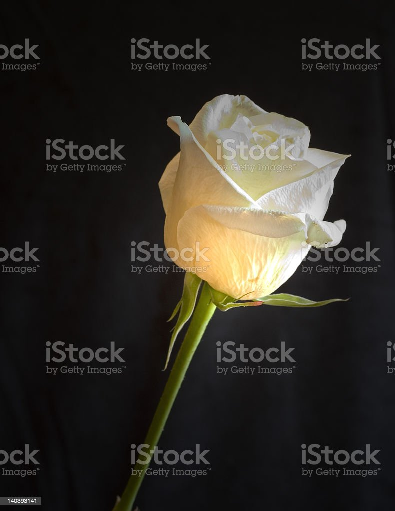 Lighted Rose stock photo