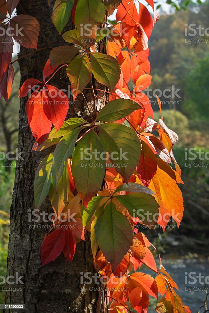 Light-flooded autumn leaves on a tree trunk royalty-free stock photo