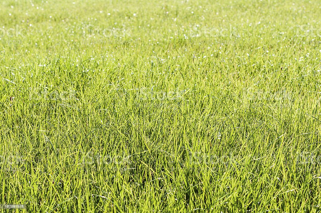 Light-flooded grass on a meadow royalty-free stock photo