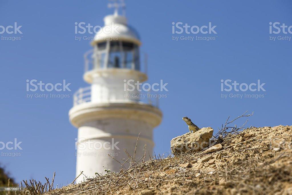 lighthouse guard ,the Common Agama  (Agama agama) royalty-free stock photo