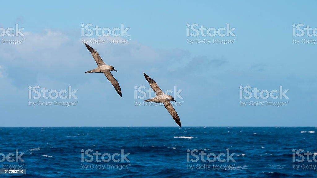 Light-mantled sooty Albatross flying. stock photo