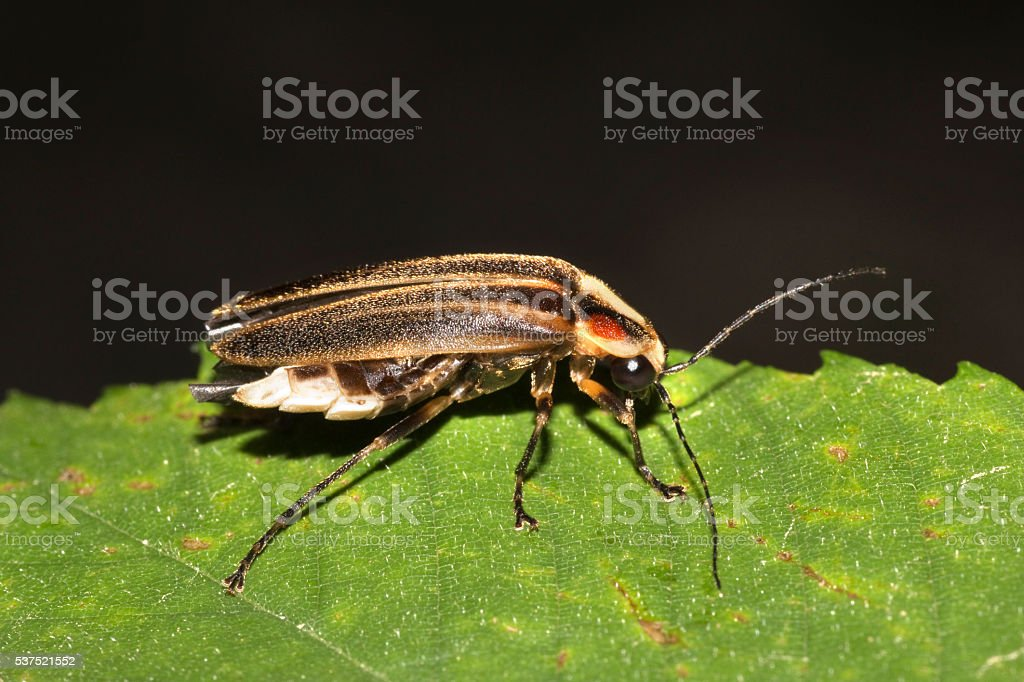 Lightning bug Photuris firefly close-up Horseshoe Bend Collins River Tenessee stock photo