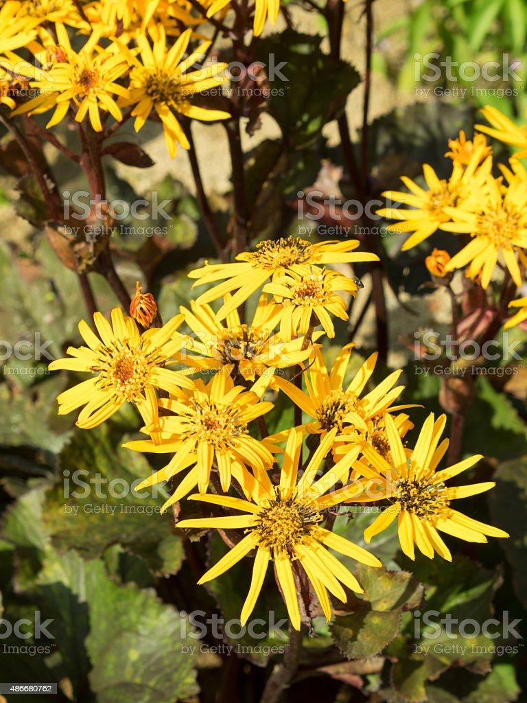 Ligularia dentata in the garden. Inflorescence. stock photo