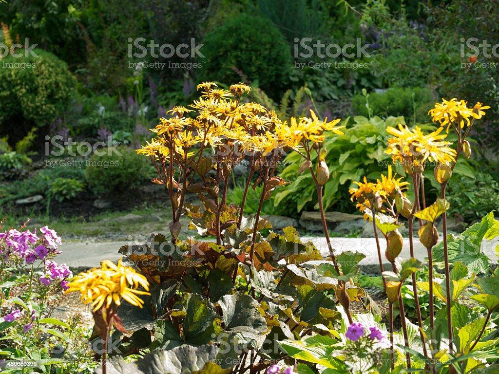 Ligularia dentata in the garden. stock photo