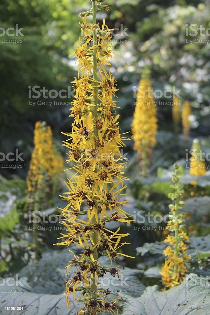 ligularia royalty-free stock photo