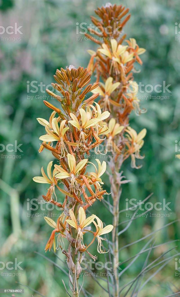 Ligularia yellow flower stock photo
