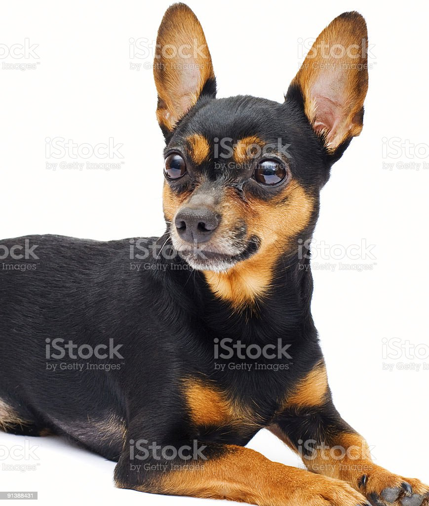 liitle dog... isolated. royalty-free stock photo