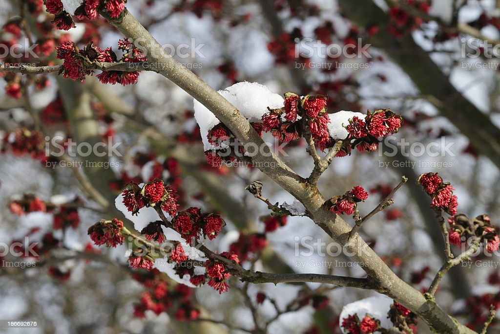 Persian ironwood Parrotia persica red flowers with caps of snow royalty-free stock photo