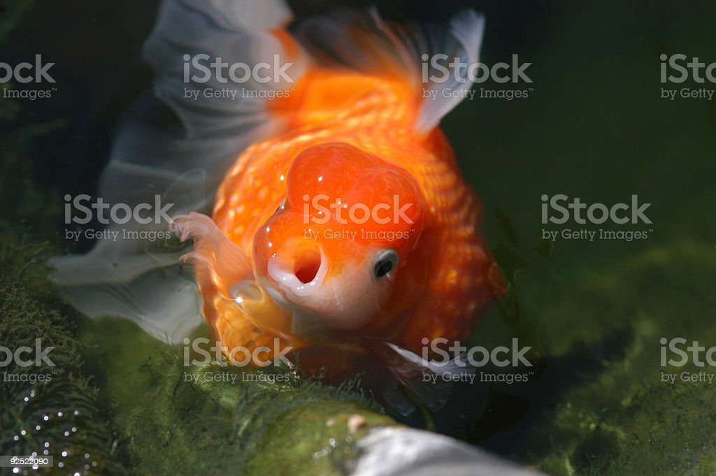 Lil' Fat Fat - Hungry royalty-free stock photo