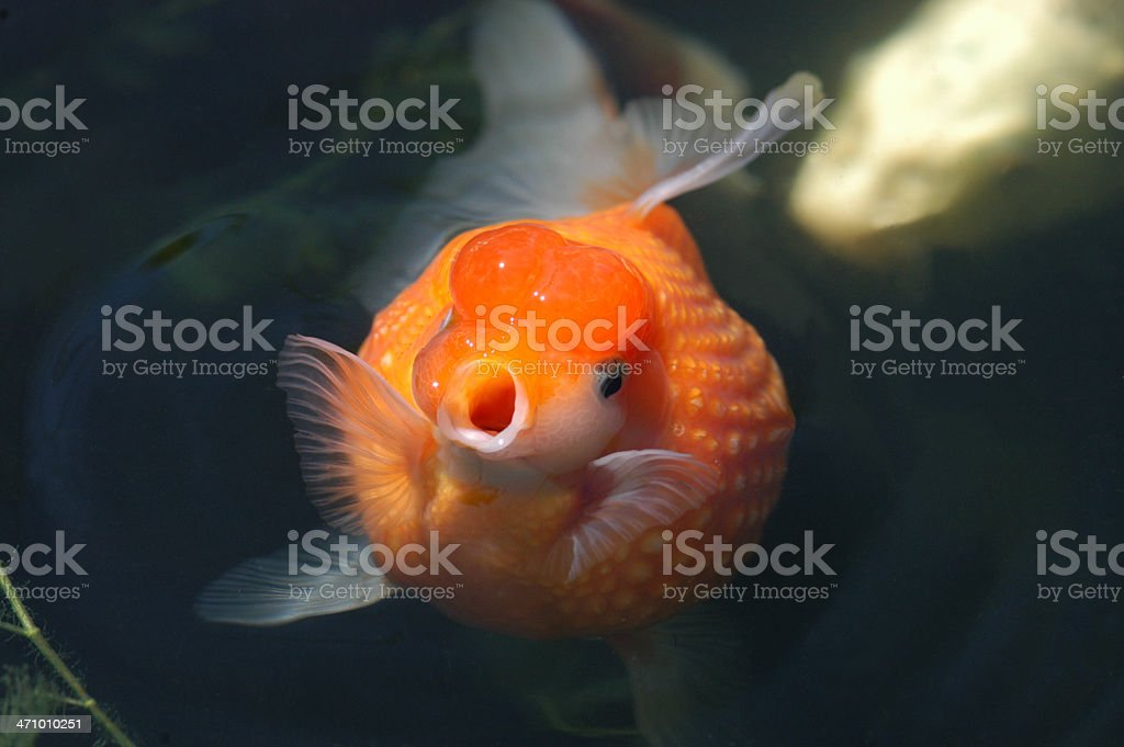 Lil' Fat Fat! royalty-free stock photo