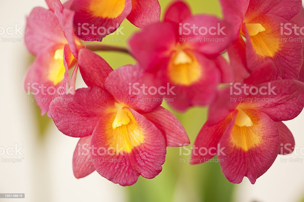 Lil Red Orchids stock photo