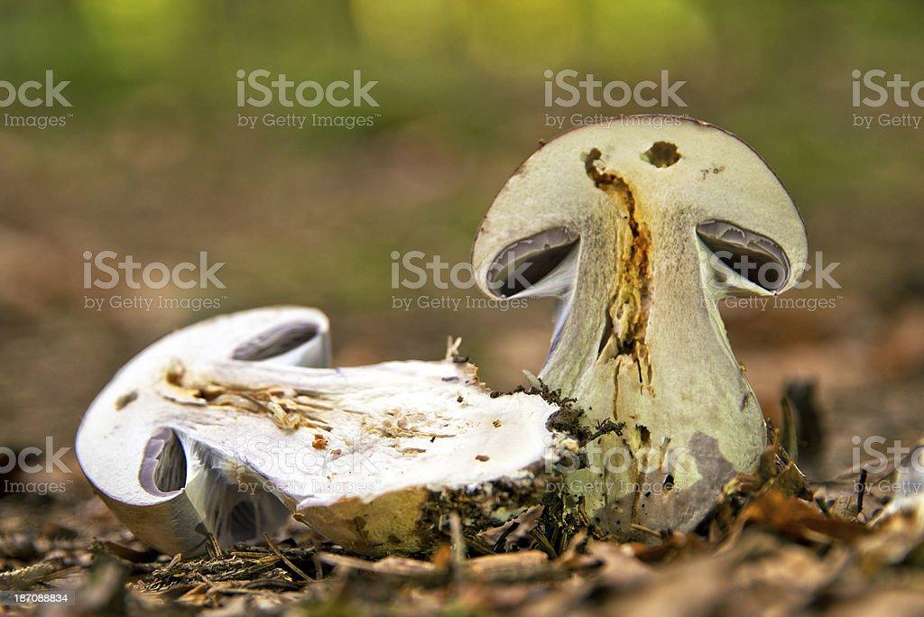 Lila Dichfuss im Herbstwald stock photo