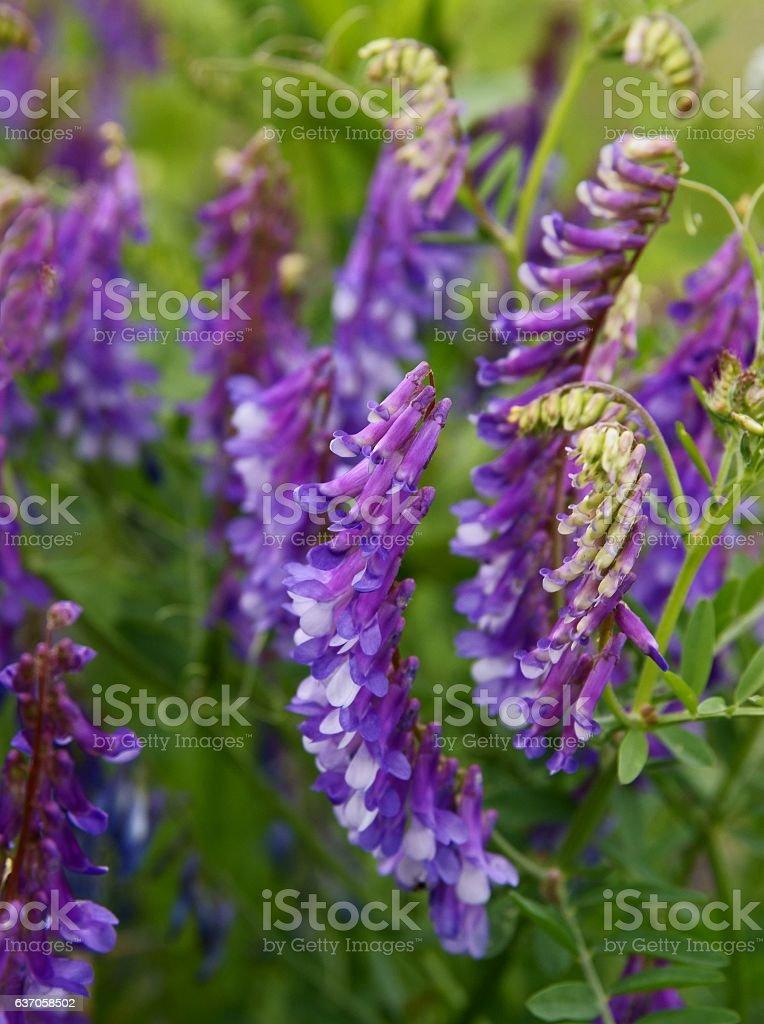 lila flowers of vetch wild plant stock photo