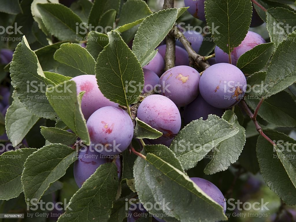 lila plums on fruit tree in an orchard stock photo