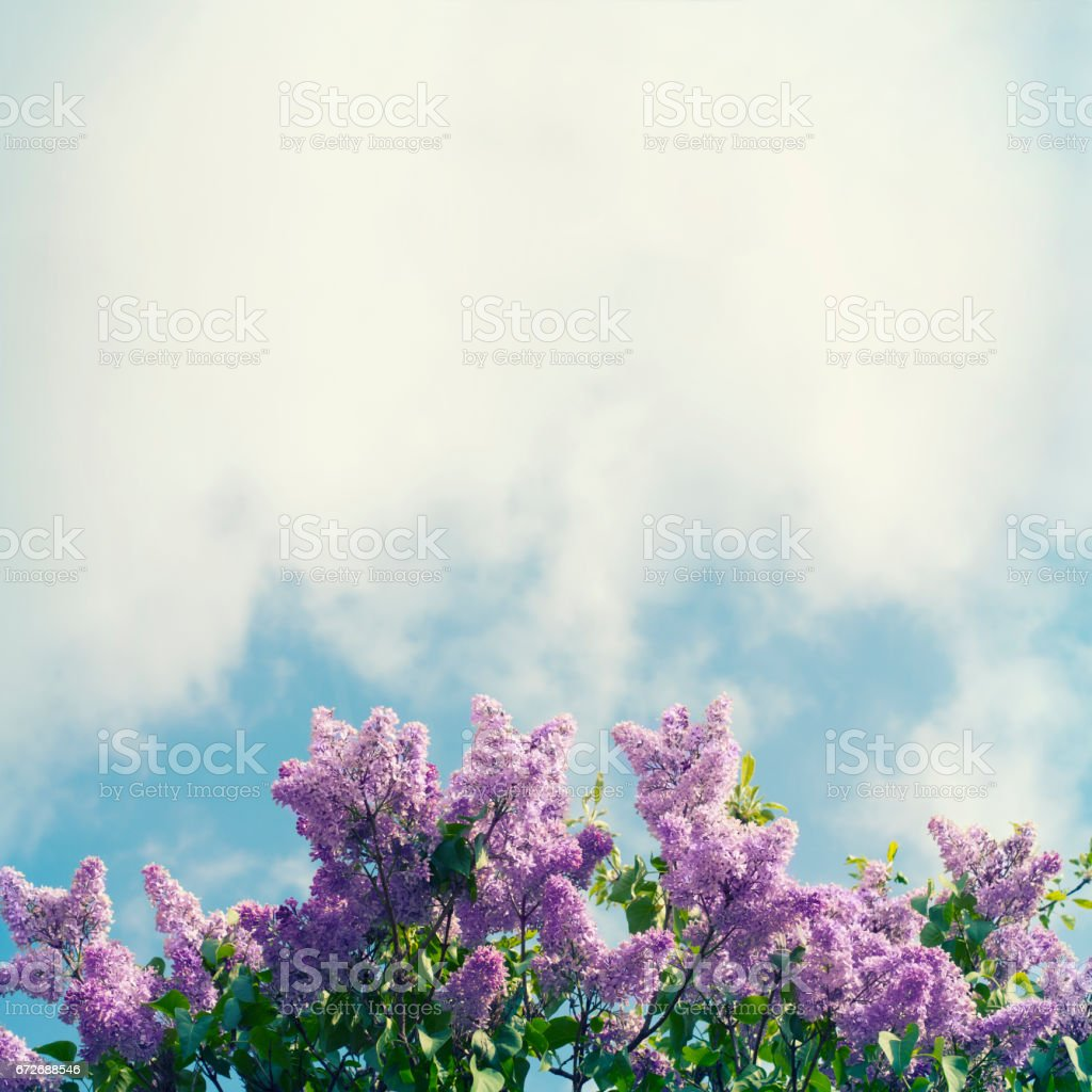 Lilac and sky stock photo
