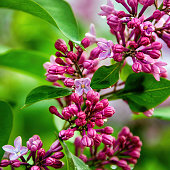 Lilac blooms with water drops. A beautiful bunch of lilacs