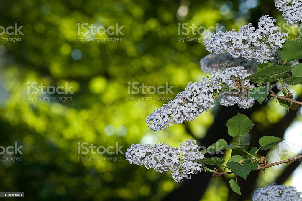 Lilac blossom royalty-free stock photo