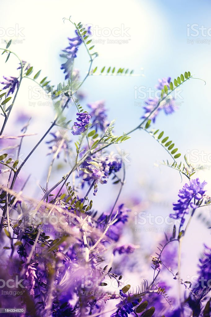Lilac blossom stock photo