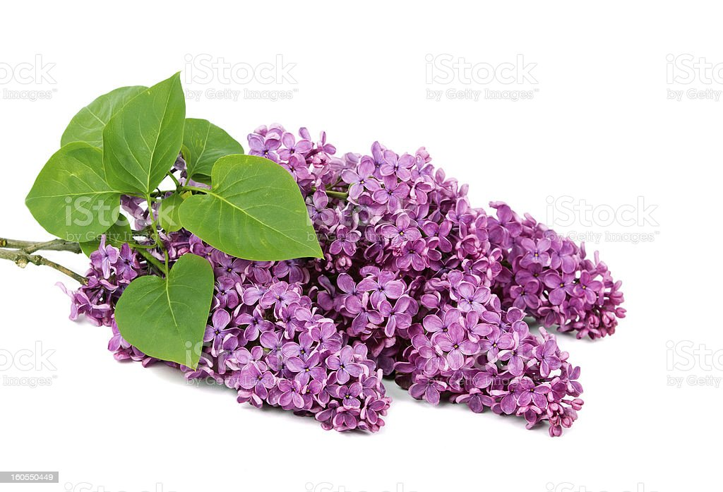 Lilac branch royalty-free stock photo