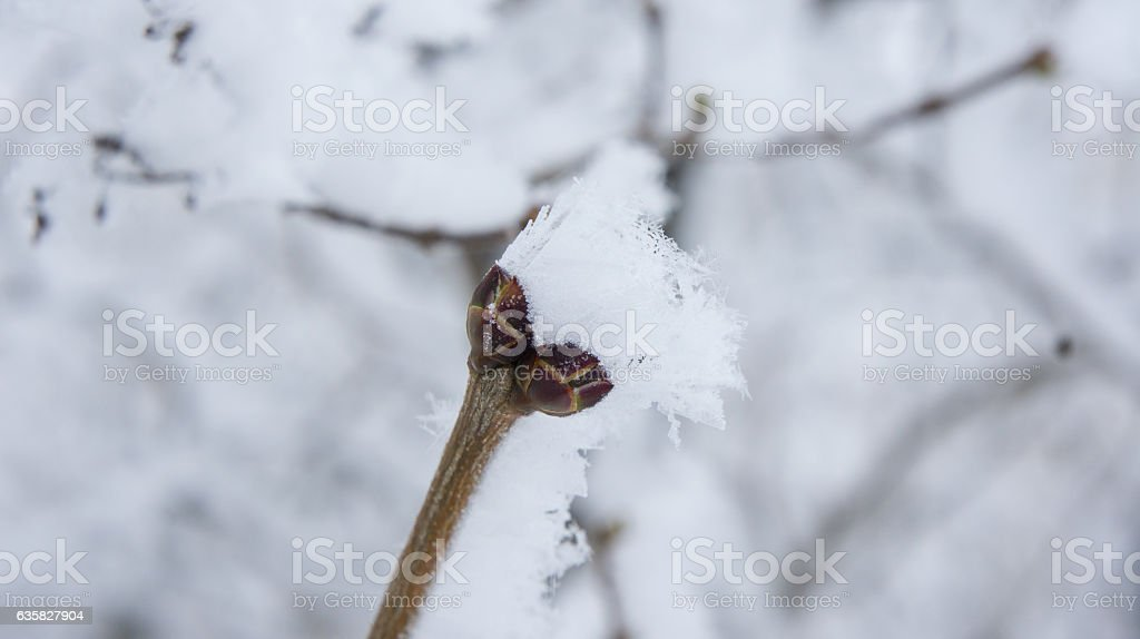 Lilac branch with buds in the frost. stock photo