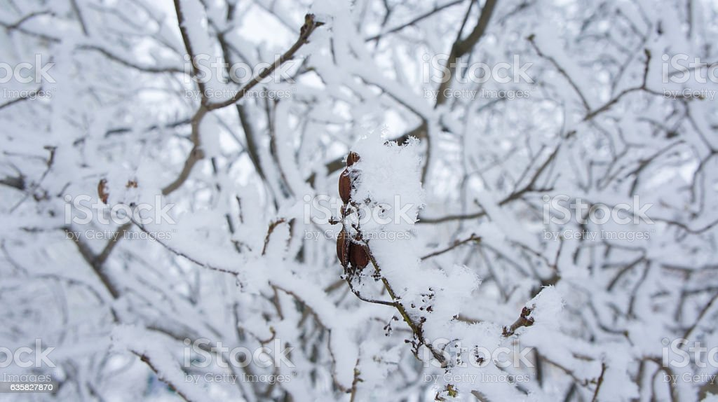 Lilac branch with seeds in the frost. stock photo