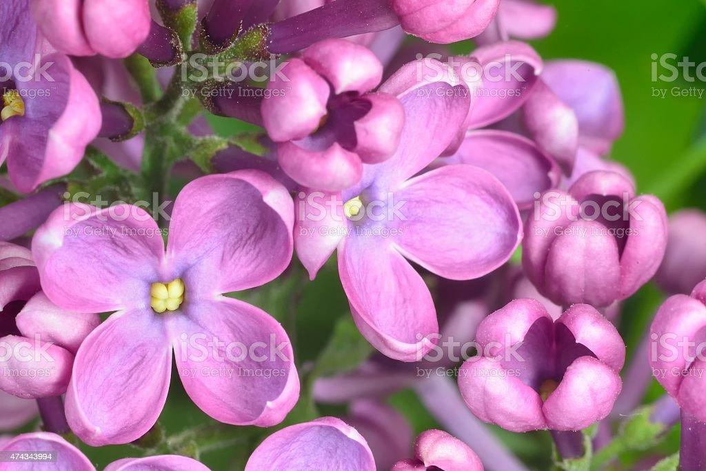 lilac buds stock photo