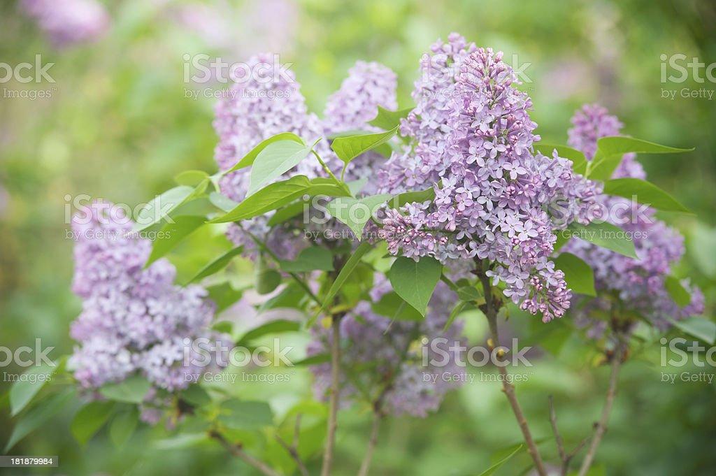 Lilac Bush (Syringa) royalty-free stock photo