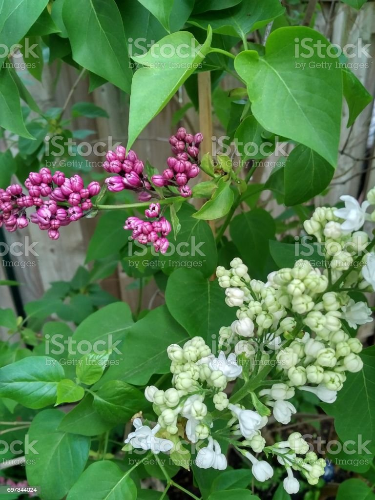 Lilac Bushes stock photo
