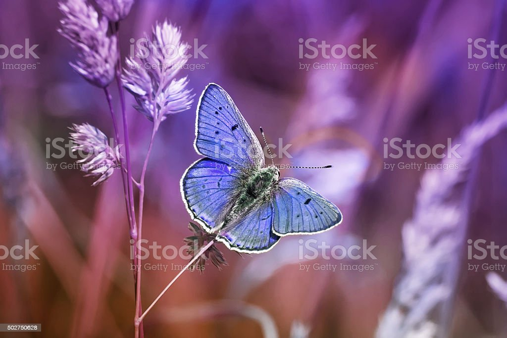 lilac butterfly among grasses stock photo