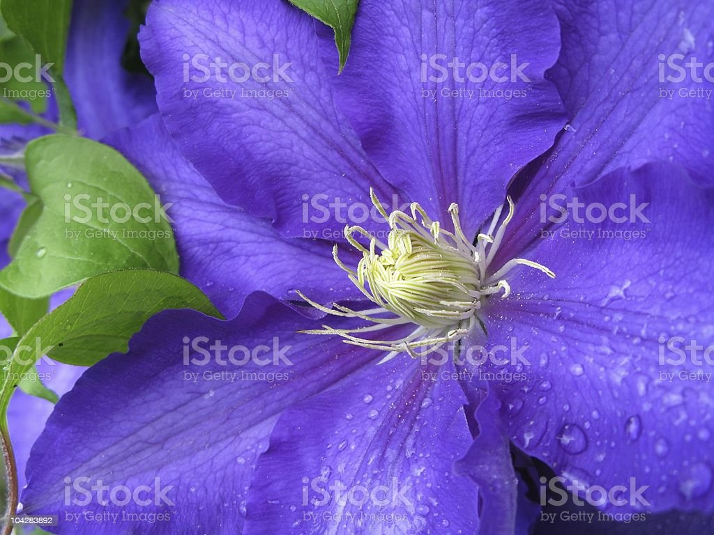 Lilac clematis royalty-free stock photo