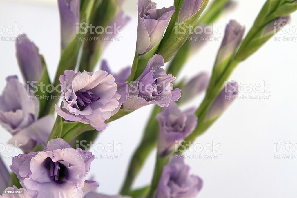 Lilac Colored Gladiolus royalty-free stock photo