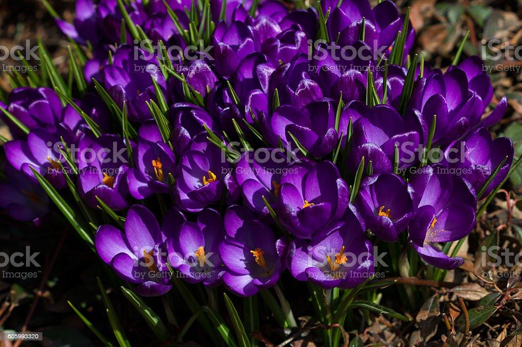 Lilac crocus day stock photo