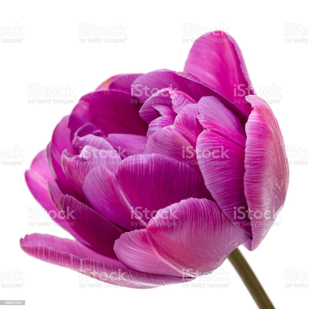 Lilac Double Peony Tulip stock photo