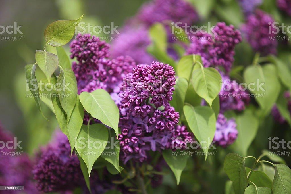 Lilac Festival stock photo