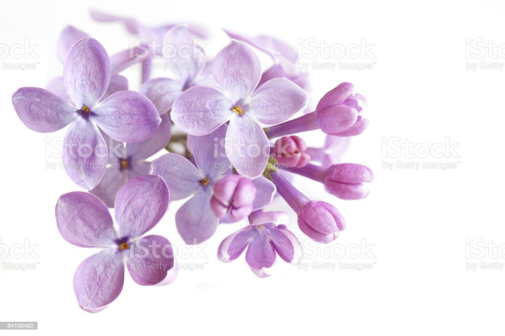 Lilac Flower stock photo