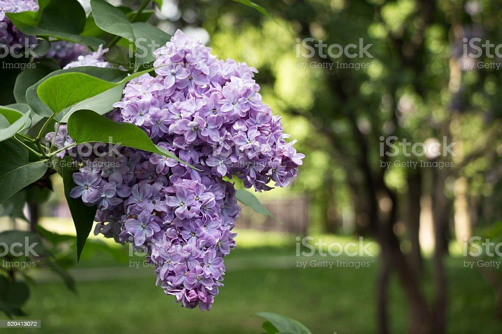 Lilac Flowering.  Lilac Bush Bloom. stock photo