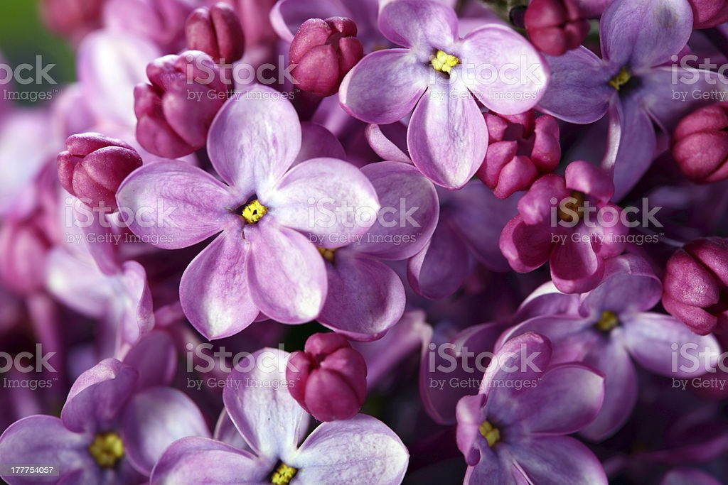 Lilac flowers close up. stock photo