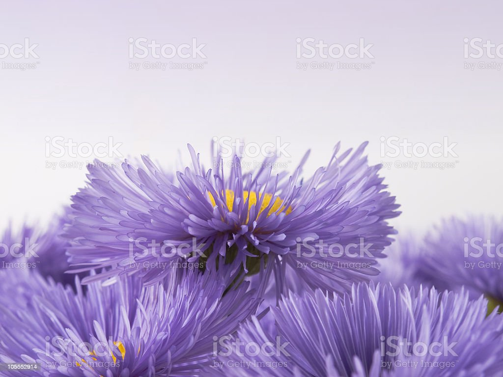 Lilac  flowers. Grdient background. royalty-free stock photo
