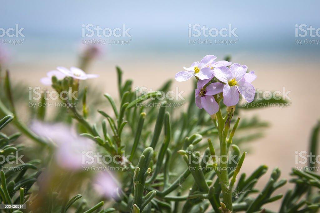 Lilac flowers growing on the beach near sea stock photo