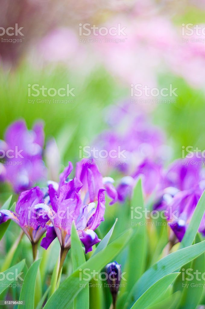 Lilac flowers on the green pink background stock photo