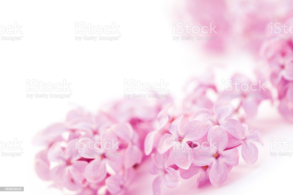 lilac flowers on white royalty-free stock photo