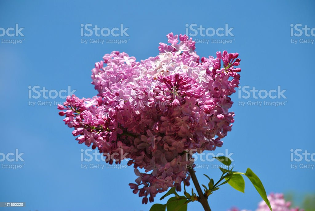 Lilac flowers royalty-free stock photo