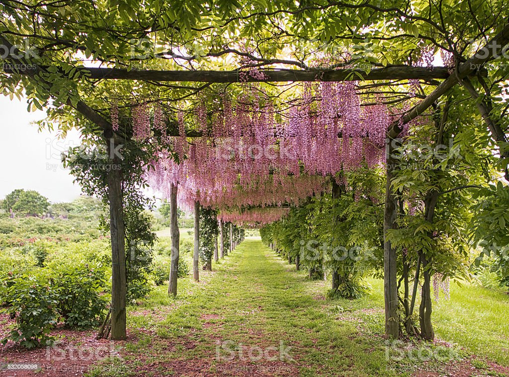 Lilac flowers tunnel stock photo