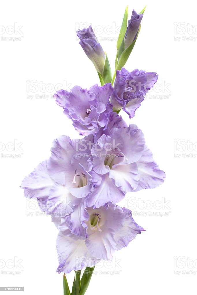 lilac gladiolus royalty-free stock photo