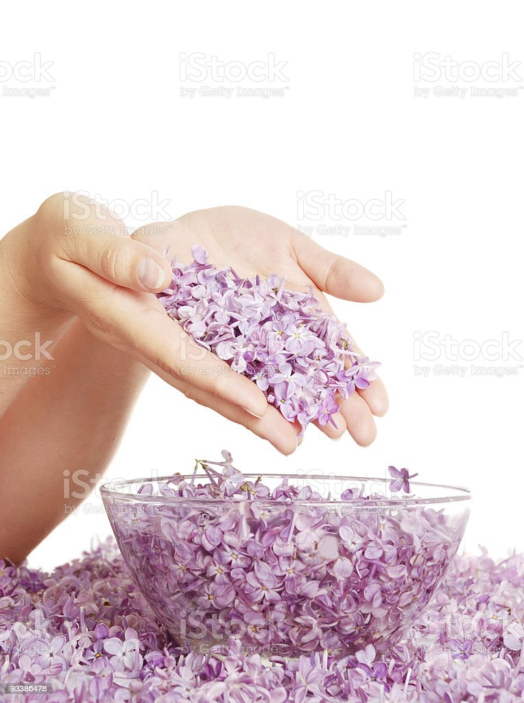 Lilac in hands above a bowl with water royalty-free stock photo