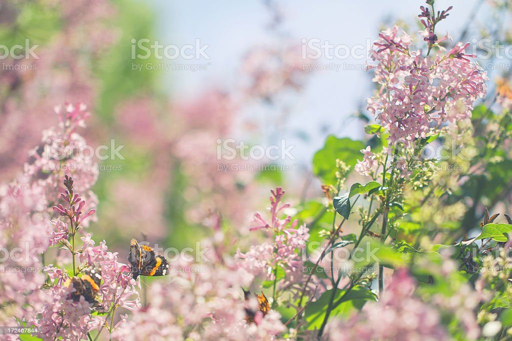 Lilac in spring with butterflies royalty-free stock photo